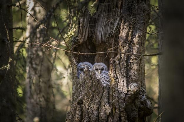 Sowy siedzą wewnątrz pnia drzewa