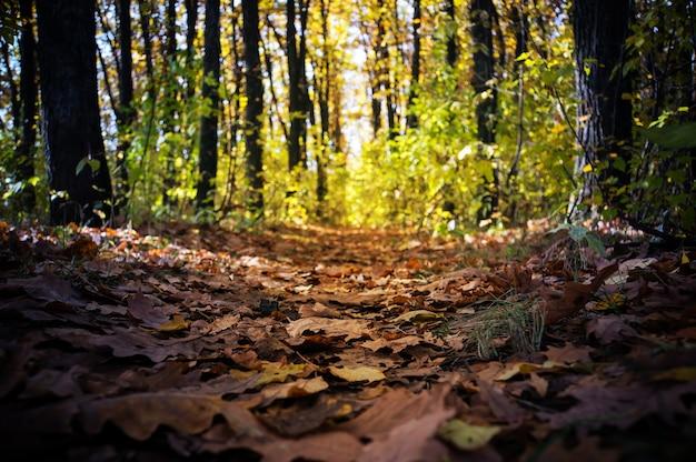 Spacer po jesiennym lesie. złota jesień. kolorowe drzewa. dzikiej przyrody. perspektywa opuszczenia ścieżki w jesiennym lesie.