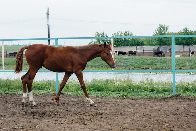 Spacer po ranczo na pięknym i zdrowym koniu. hodowla zwierząt i hodowla koni.