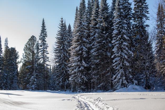 Spacer po zimowym lesie. śnieżne drzewa i trasa do narciarstwa biegowego. piękne i niezwykłe drogi i leśne szlaki. piękny zimowy krajobraz.