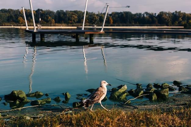 Spacer z ptakami mewy rzecznej po skalistym brzegu rzeki z drewnianym molo
