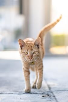 Spacerujący kot pomarańczowy