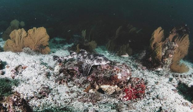 Spacerujący rekin (heterodontus quoyi) pływający w tropikalnych podwodnych wodach. rekin rogaty w podwodnym świecie. obserwacja oceanu dzikiej przyrody. przygoda z nurkowaniem na ekwadorskim wybrzeżu galapagos