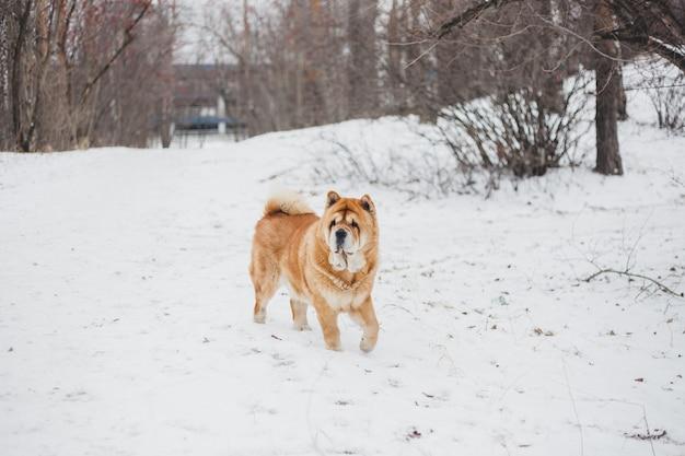 Spacery z psem w winter park, zwierzęta i zima, opieka nad zwierzętami