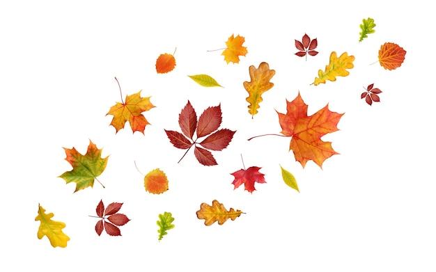 Spadające jesienne liście na białym tle. żółte, czerwone i pomarańczowe liście klonu, dębu, osiki i innych drzew.