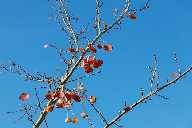 Spadające liście osiki na bezchmurnym tle nieba.