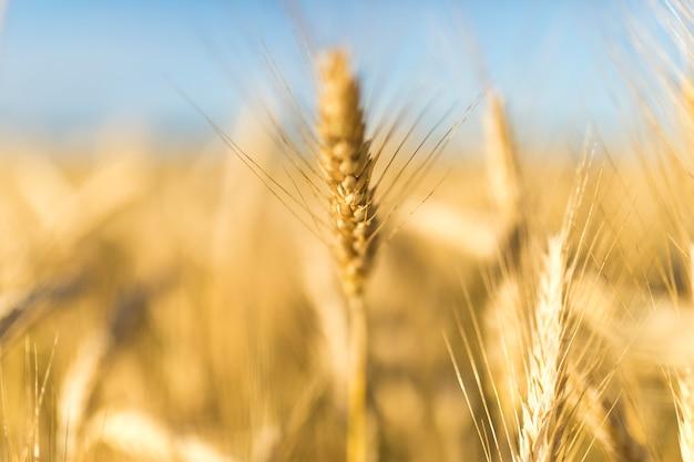 Spadek krajobraz ze złotymi przyprawami pszenicy