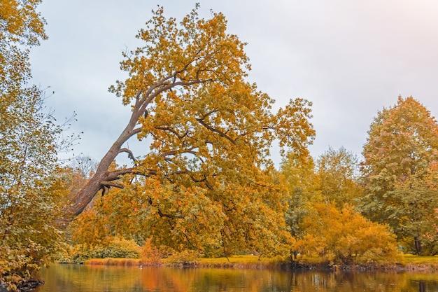 Spadzisty dąb jesienią nad stawem wodnym.