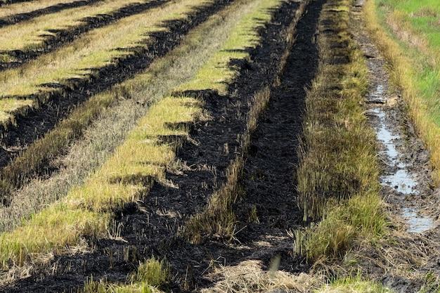 Spalanie ścierniska na polach ryżowych po zbiorach.