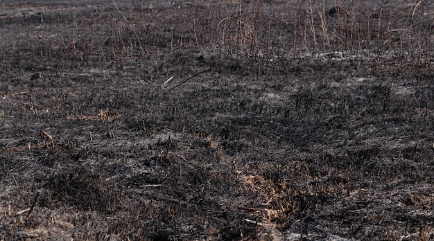 Spalona trawa w polu. podpalenie trawy. spalona ziemia po pożarze.