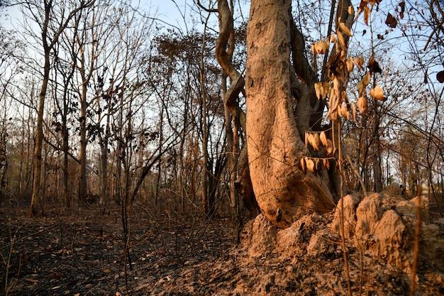 Spalony las na wsi z thailnad