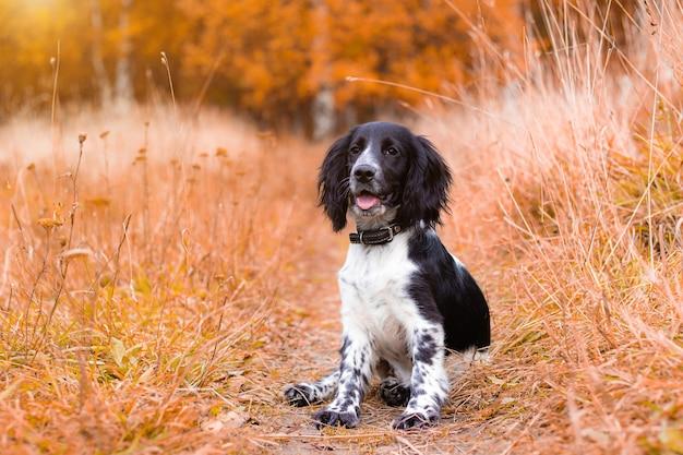 Spaniel polujący na spacer jesienią. jesienny portret zwierzęcia. kolor czarno-biały.