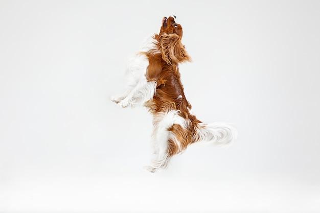 Spaniel szczeniak grając w studio. ładny piesek lub zwierzę skacze na białym tle. cavalier king charles. spacja w negatywie, aby wstawić tekst lub obraz. pojęcie ruchu, prawa zwierząt.