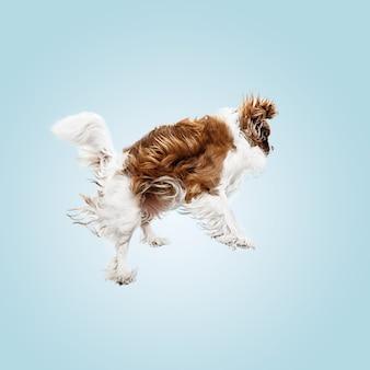 Spaniel szczeniak grając w studio. ładny piesek lub zwierzę skacze na białym tle na niebieskim tle. cavalier king charles. spacja w negatywie, aby wstawić tekst lub obraz. pojęcie ruchu, prawa zwierząt.