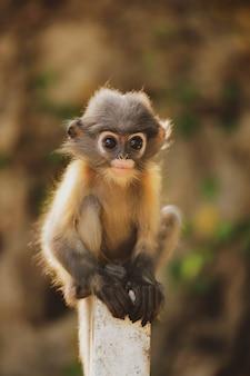 Spectacled liść małpa także dzwonił ciemniusieńkiego langur patrzeje kamerę