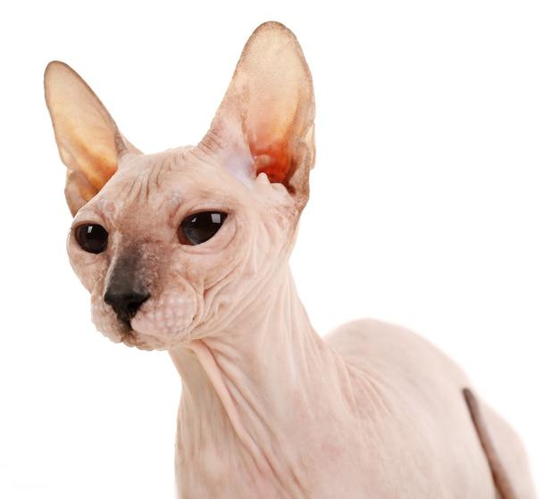Sphynx bezwłosy kot na białym tle