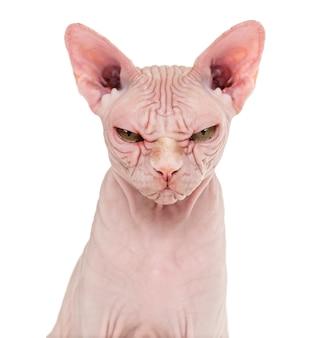 Sphynx bezwłosy kot pozowanie na białym tle
