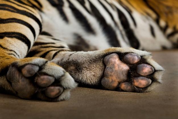 Śpi stopa azjatyckiego tygrysa.