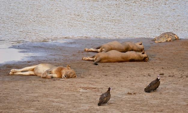 Śpiące lwy w parku narodowym south luangwa zambii