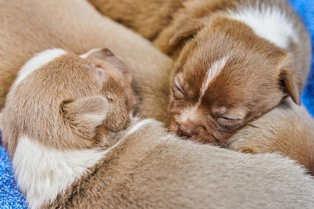 Śpiące szczenięta chihuahua w koszyku