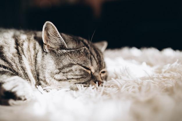 Śpiący domowy kot na kanapie