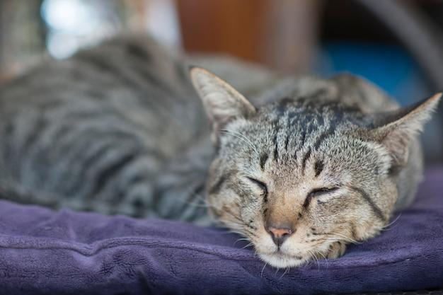 Śpiący kot syjamski na krześle pod słońcem