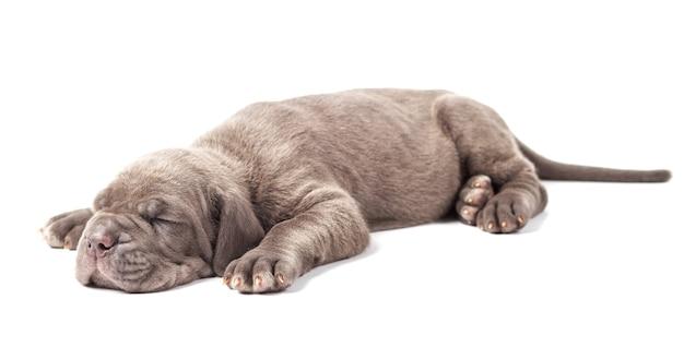 Śpiący młody szczeniak mastifa włoskiego cane corso (1 miesiąc) na białym tle.