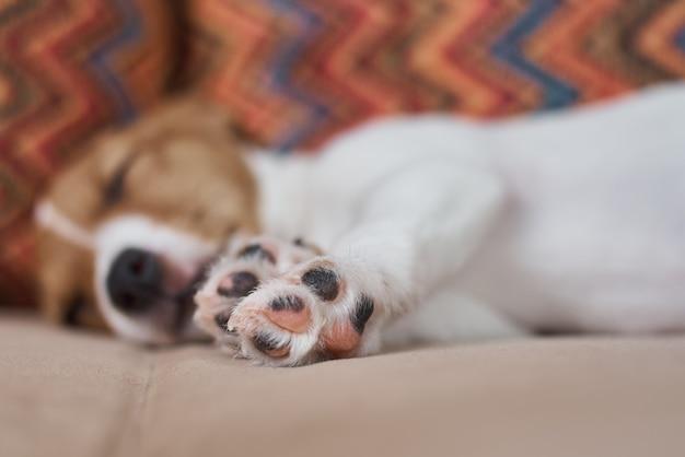 Śpiący pies jack russel terrier na kanapie