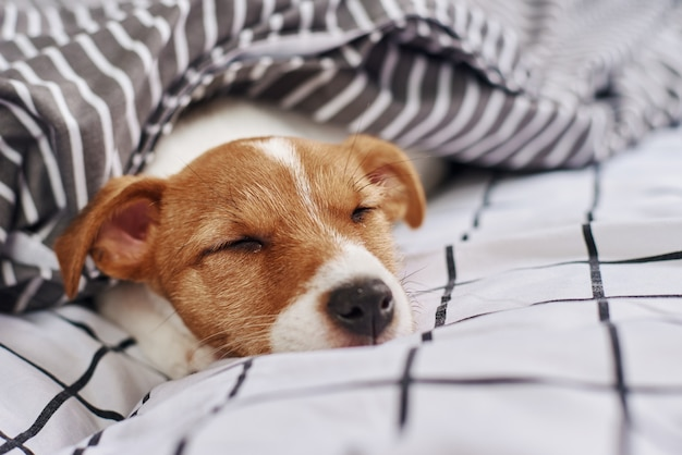 Śpiący pies jack russell terrier pod kocem w łóżku