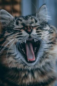 Śpiący szary kotek ziewający
