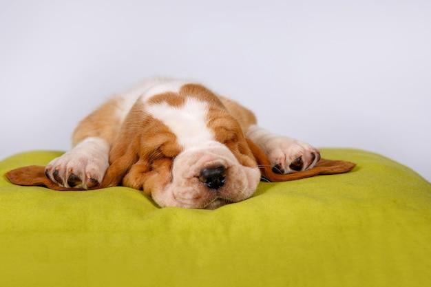 Śpiący szczeniak basset hound.