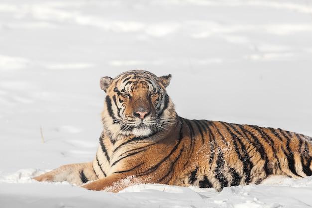 Śpiący Tygrys Syberyjski Premium Zdjęcia