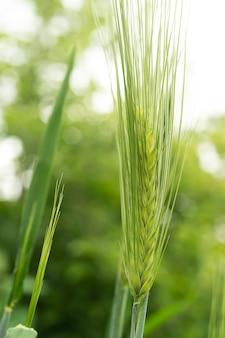 Spica zielonej pszenicy z bliska pole pszenicy piękna przyroda zachód słońca krajobraz wiejskie krajobrazy pod lśniącym światłem słonecznym
