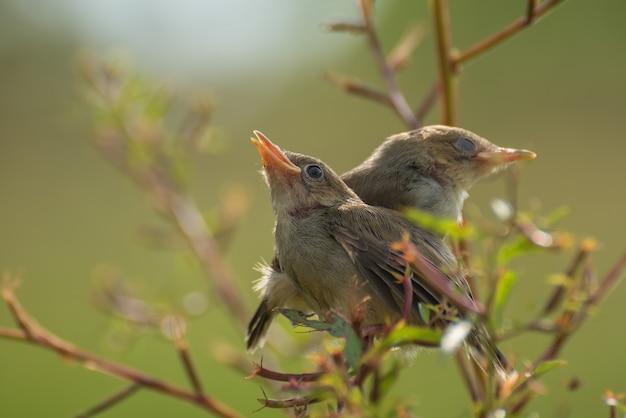 Śpiewające ptaki siedzące na gałęzi drzewa