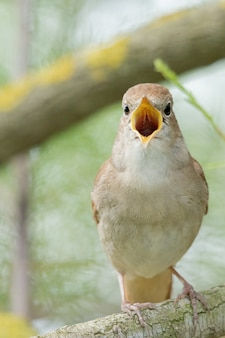 Śpiewający słowik na gałęzi
