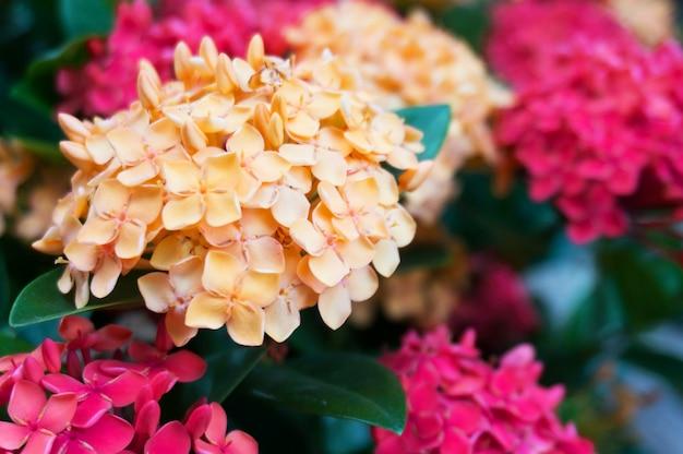 Spike kwiat czerwony w przyrodzie (common name ixora coccinea, rubiaceae) na wiosnę.