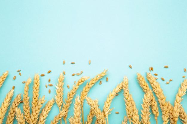 Spikelets pszenicy na niebieskim tle. widok z góry