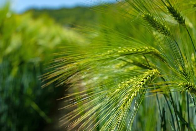 Spikelets zielony browarny jęczmień w polu.