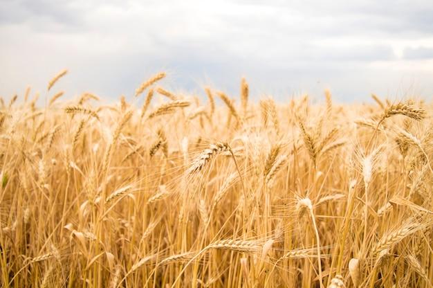 Spikelets żółtej pszenicy na tle nieba