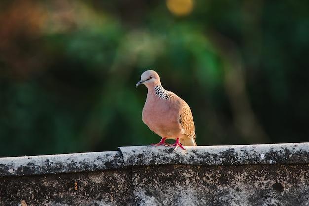 Spilopelia chinensis jest na dachu, spilopelia chinensis jest uroczym, łatwym do rozmnażania ptakiem.