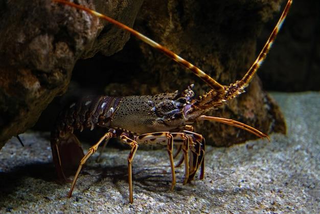 Spiny Lobster Palinurus Elephas, Podwodne Ujęcie Homara Na Dnie Oceanu. Premium Zdjęcia