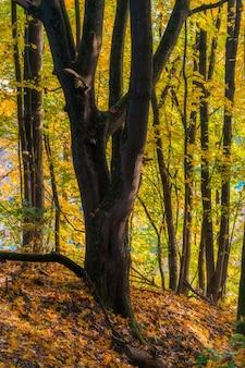 Spokojna jesienna sceneria przedstawiająca wspaniałe stare drzewo z kolorowymi liśćmi w parku.