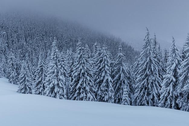 Spokojna zimowa scena. jodły pokryte śniegiem stoją we mgle.