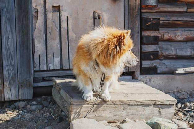 Spokojny wiejski przykuty pies w pobliżu drewnianej stodoły oglądania