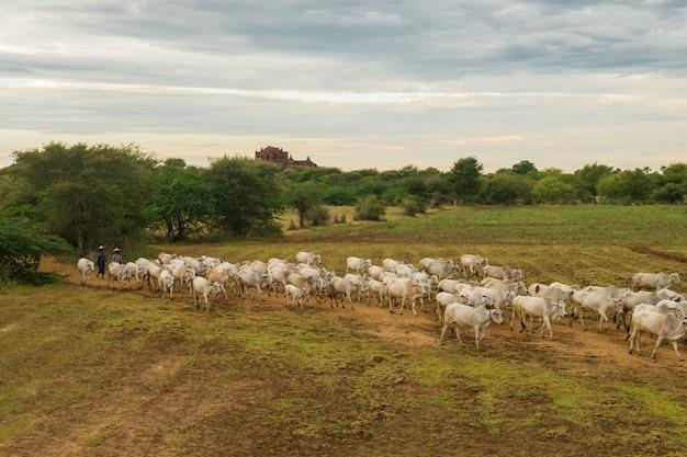 Spokojny, wyluzowany zachód słońca ze stadem bydła zebu myanmar