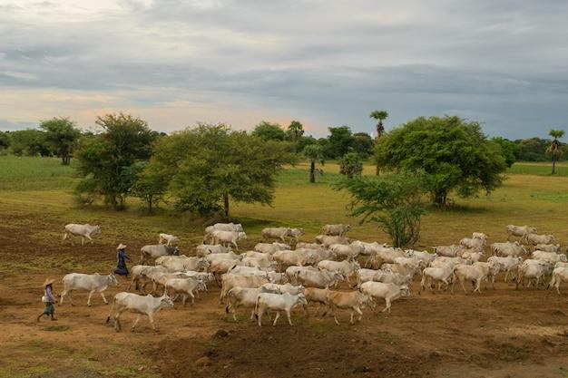 Spokojny, wyluzowany zachód słońca ze stadem bydła zebu w myanmarze