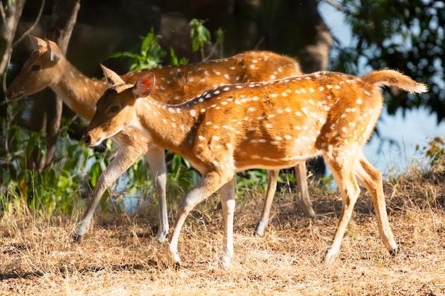 Spot jelenie w indiach