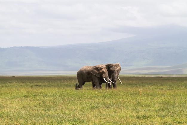 Spotkanie. komunikują się dwa słonie. krater ngorongoro, tanzania