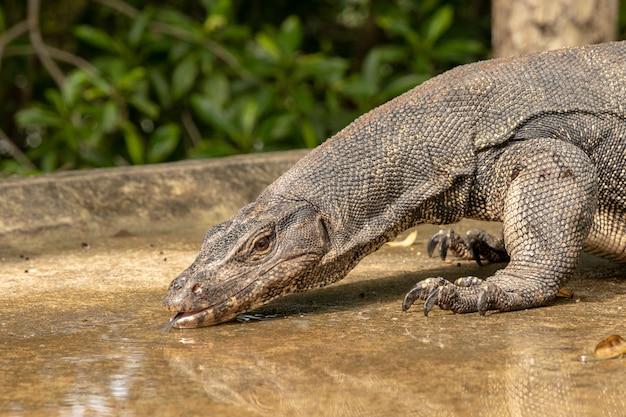 Spragniona woda monitor jaszczurka, salwator varanus, woda pitna z kałuży na drodze