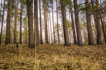 Spring Pine Forest Morning